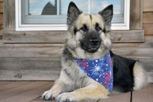 Hi, I'm Eli and I'm one patriotic pup.