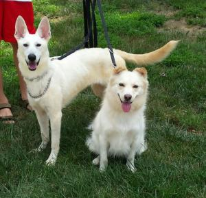Farrah (up for adoption) along with her new friend Karma (MAGSR Alum)