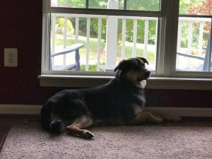 Jax laying by the window on a beautiful summer day getting ready for his nap