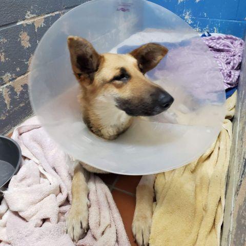 Clover, post surgery